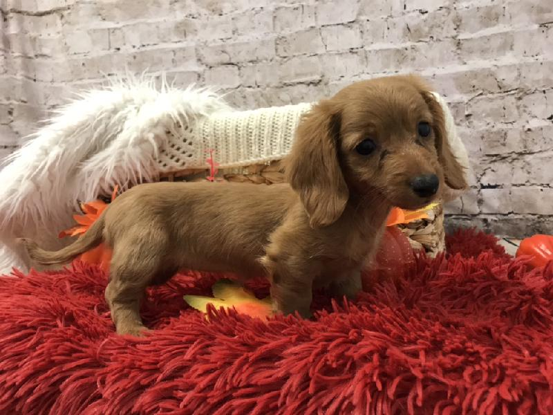 Dachshund-DOG-Female-6084