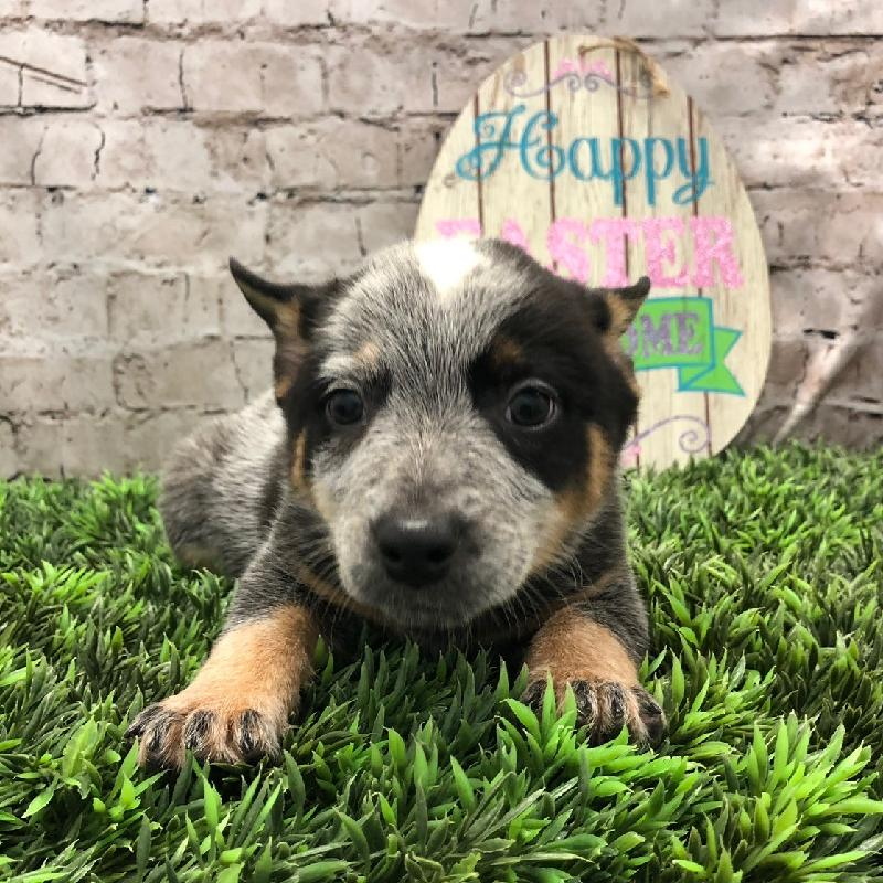 Puppies For Sale Pittsburgh Pa Visit Petland Robinson Today