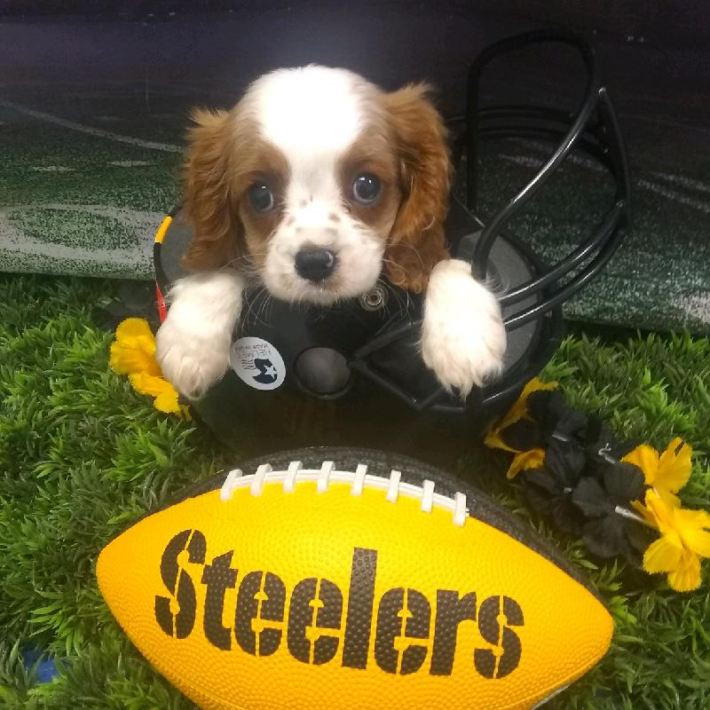 Puppies For Sale | Pittsburgh, PA | Visit Petland Robinson