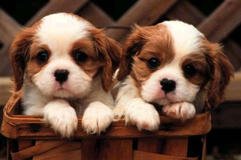 Petland Robinson Pittsburgh Pa Pet Store Puppies For Sale