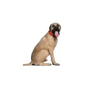 English Mastiff Puppies Pittsburgh Pa Petland Robinson