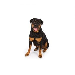 Rottweiler Puppies Pittsburgh Pa Petland Robinson