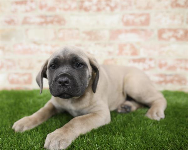 Cane Corso-DOG-Male-Blue Fawn-5451-Petland Robinson