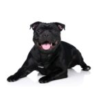 Petland Robinson Staffordshire Bull Terrier