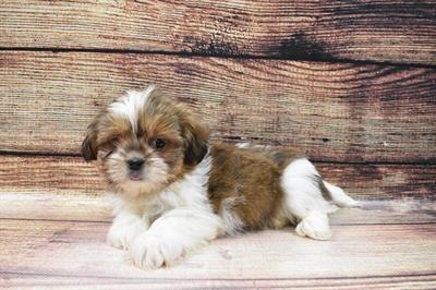 Shih Tzu-DOG-Male-Gold and White-6792-Petland Robinson