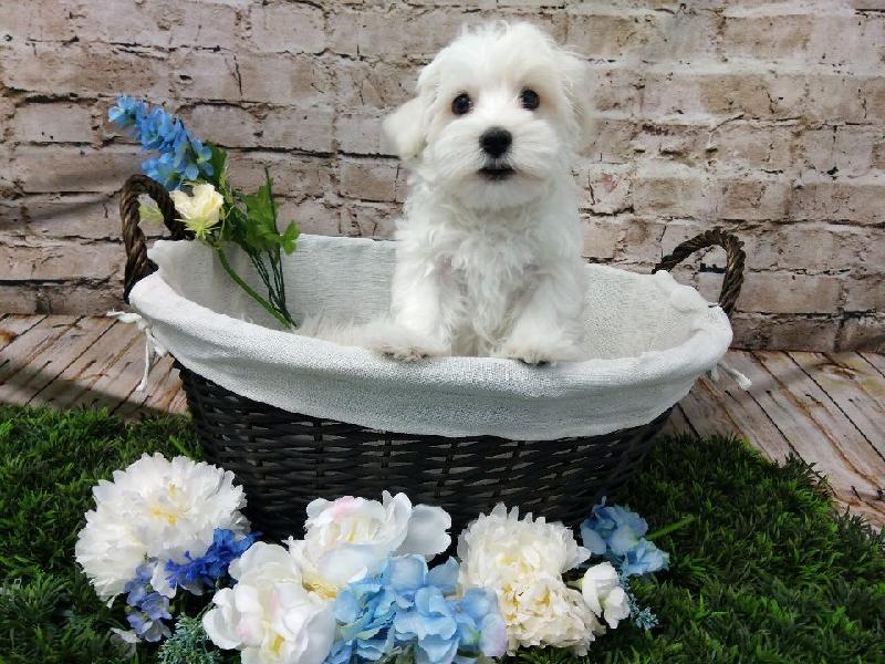 Maltese-DOG-Male-White-6987-Petland Robinson