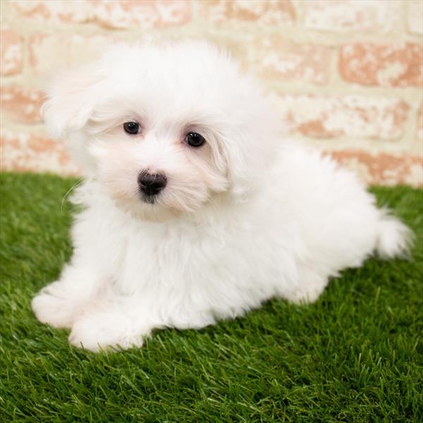 Maltese-DOG-Male-White-7042-Petland Robinson