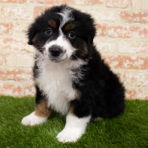 Australian Shepherd-DOG-Male-Black-7043-Petland Robinson