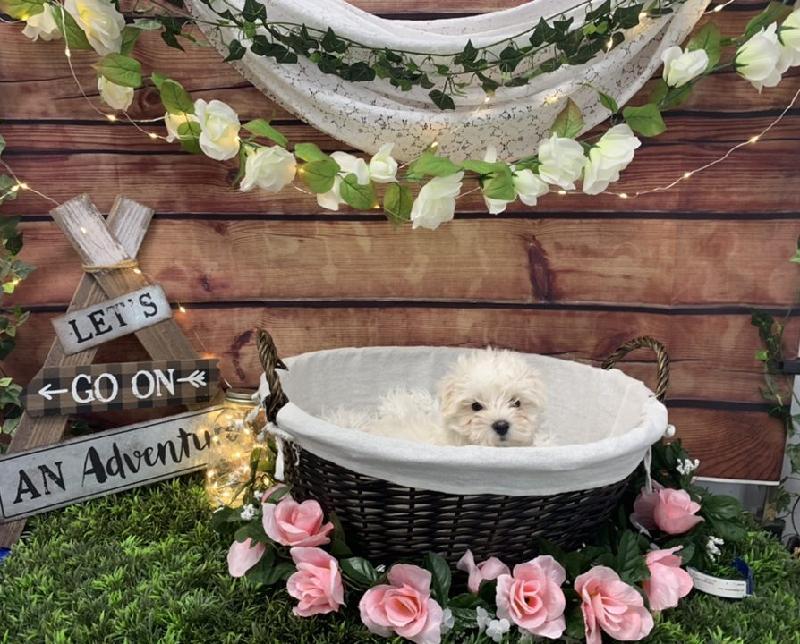 Maltese-DOG-Male-White-7387-Petland Robinson
