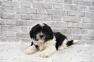 Shih Tzu-DOG-Male-Black and White-7418-Petland Robinson