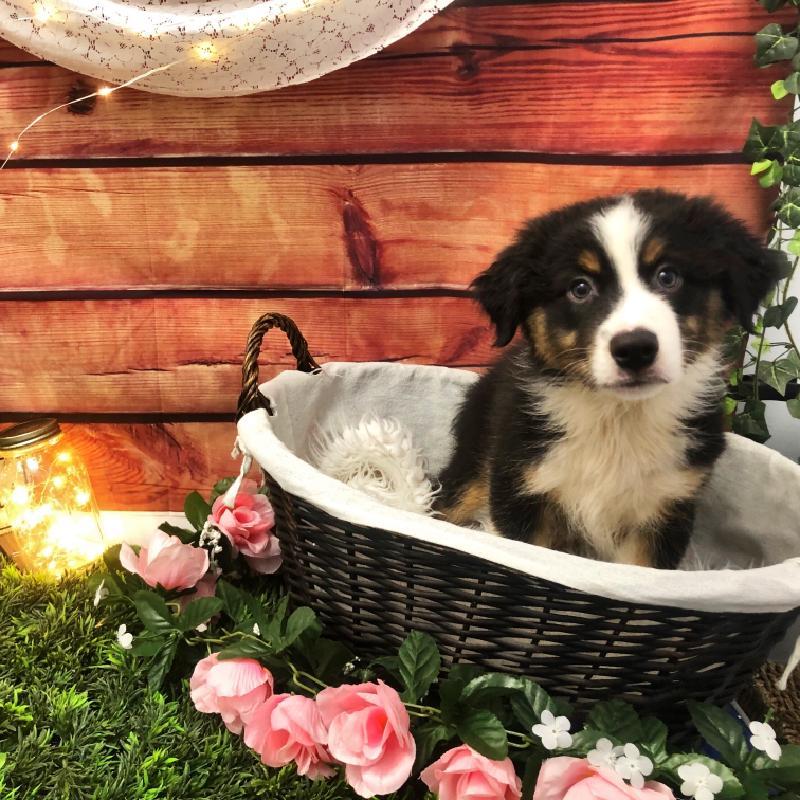 Australian Shepherd-DOG-Male-Black and White-7544-Petland Robinson